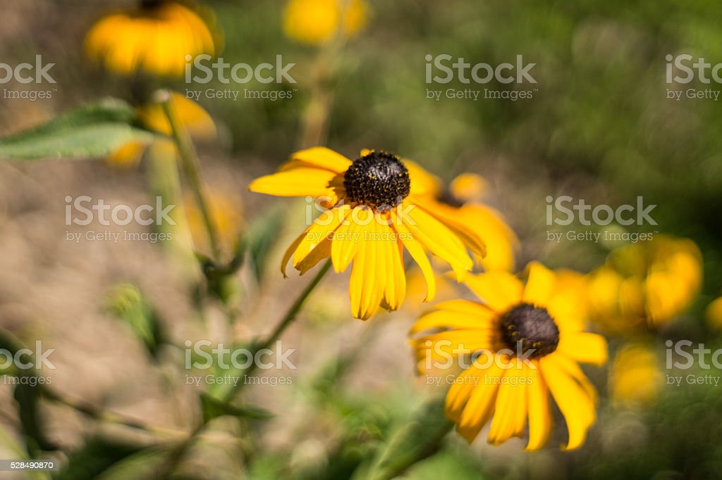 Yellow wildflower royalty-free stock photo