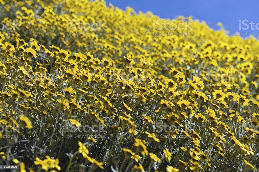 Gelbe Wildblumen Lizenzfreies stock-foto