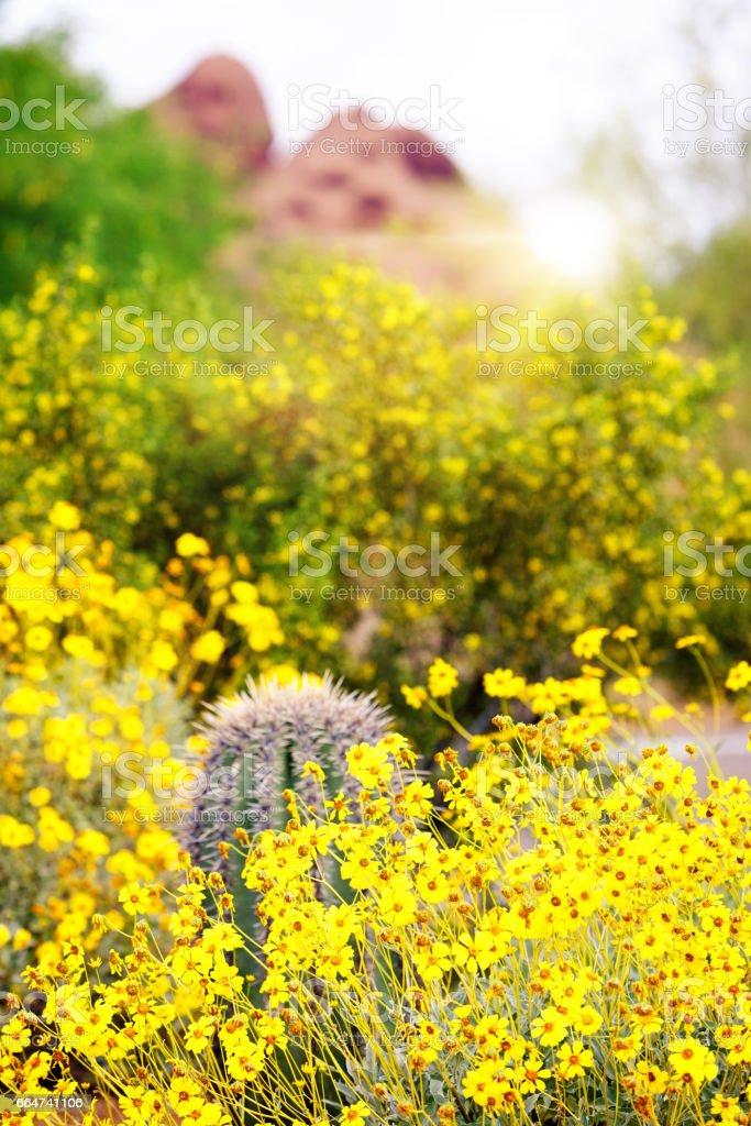 Yellow Wildflowers Cactus and Mountain in Arizona stock photo