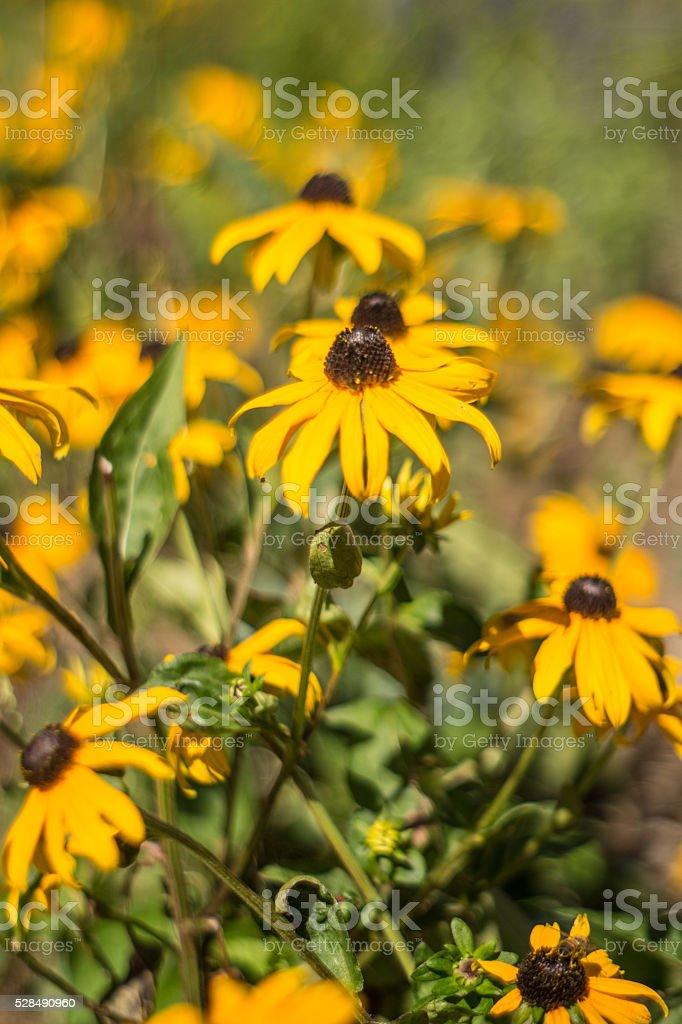 Yellow wildflowers in field portrait royalty-free stock photo