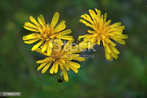 Leontodon hispidus flower, known by the common names bristly hawkbit and rough hawkbit, blooming in the summer.