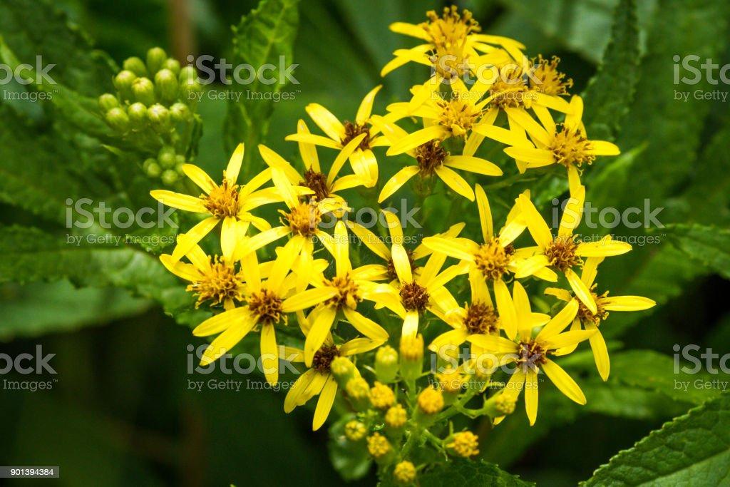 Yellow Wildflowers (Solidago viragaurea) on Rebun Island, Japan stock photo