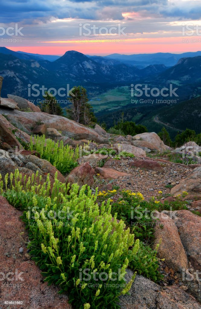 Yellow Wildflowers on Trail Ridge Road in Rocky Mountain National Park Colorado stock photo