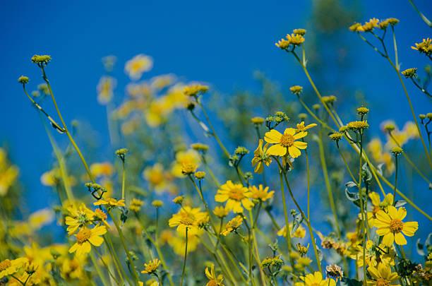 Yellow wildflowers (Desert brittlebush) stock photo