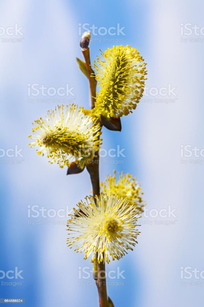 Yellow willow buds sprout stock photo