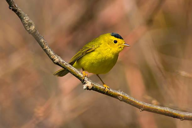 yellow wilsons warbler bird perched in a springtime forest - zanger vogel stockfoto's en -beelden