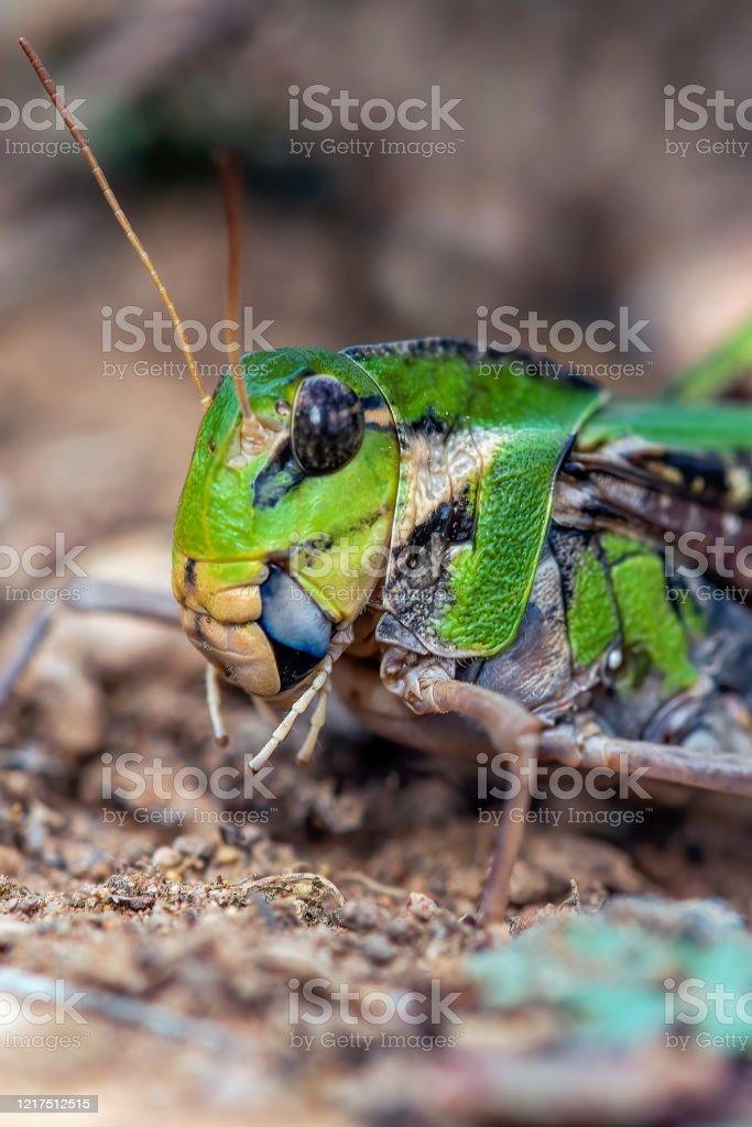 Yellow Winged Locust - Royalty-free Animal Stock Photo
