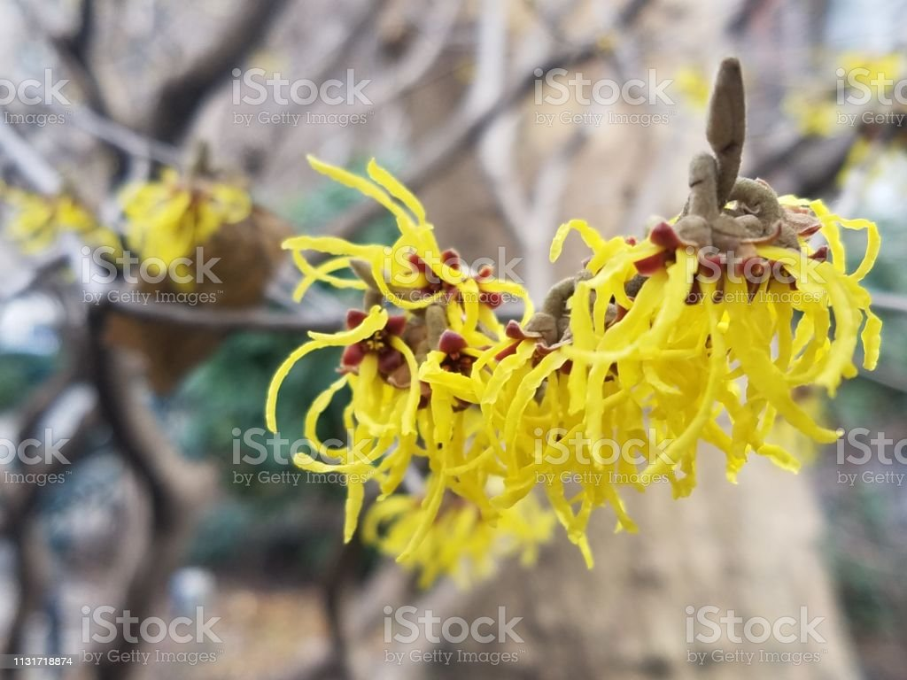 Yellow Witch Hazel Flowers Stock Photo Download Image Now Istock