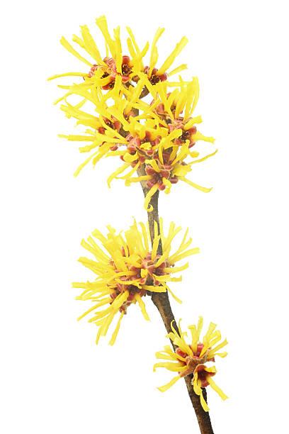 oczar wirginijski (hamamelis virginiana) na białym tle - pręcik część kwiatu zdjęcia i obrazy z banku zdjęć