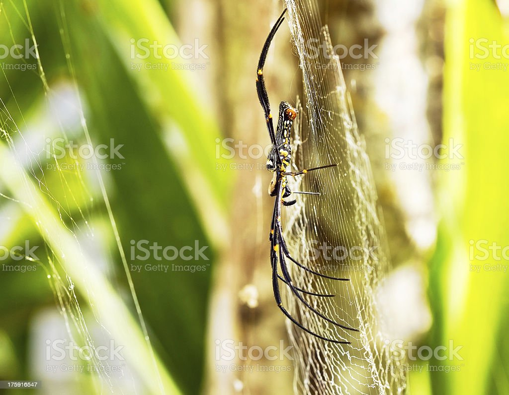 Yellow with black color spider royalty-free stock photo