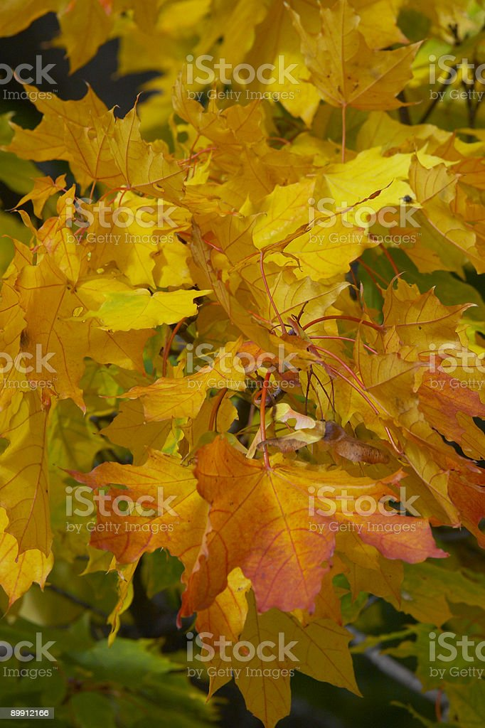 Yellow with red leaves of a maple royalty-free stock photo