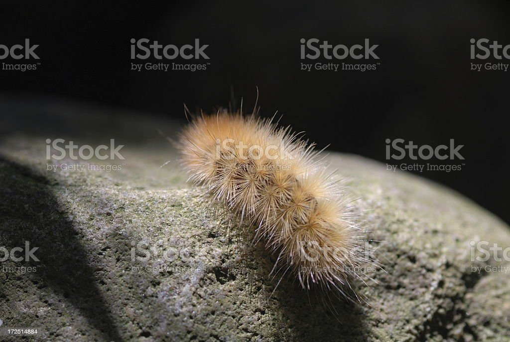 Yellow Woolly Worm: Spilosoma virginica royalty-free stock photo