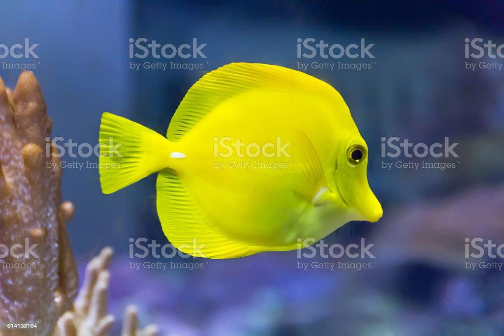 Yellow zebrasoma in aquarium stock photo