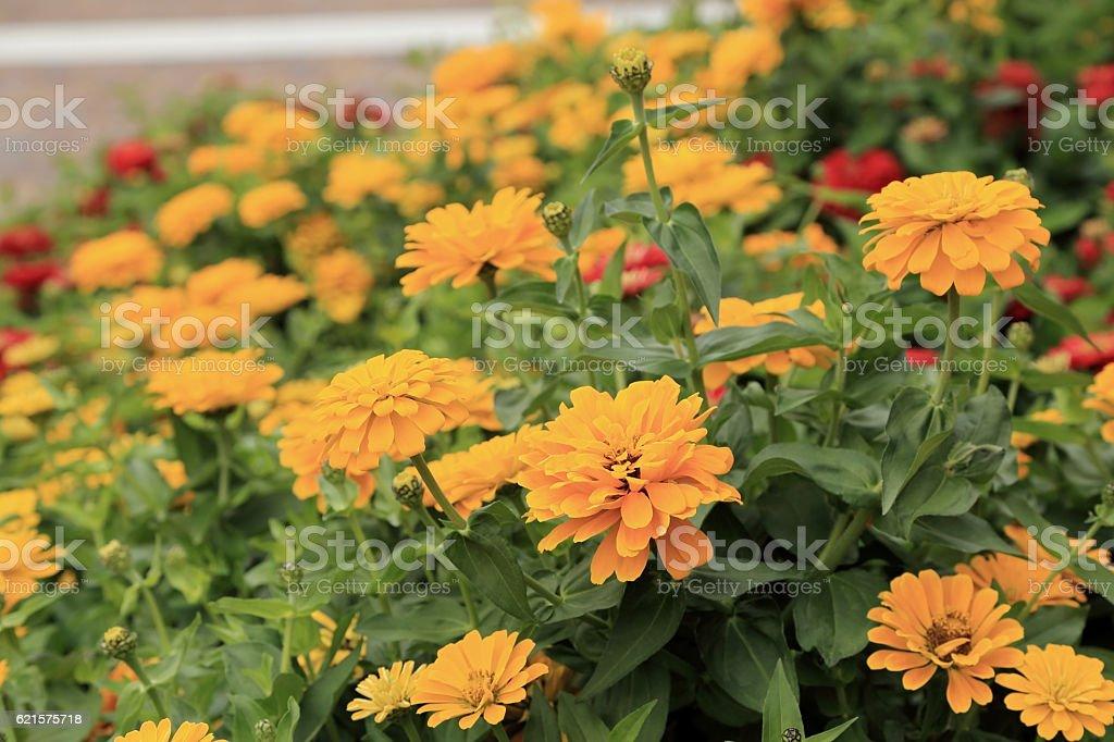 Yellow Zinnia flowers in the garden. photo libre de droits