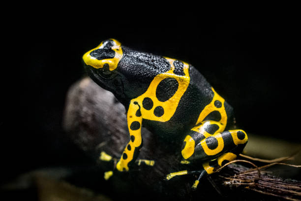 Yellow-banded poison arrow frog stock photo