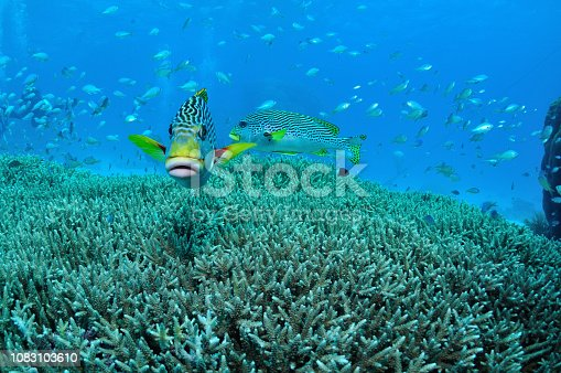 yellow-banded sweetlips or diagonal-banded sweetlips, Plectorhinchus lineatus, Agincourt Reefs, Port Douglas, Great Barrier Reef, Queensland, Australia, Coral Sea, South Pacific Ocean