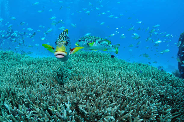 Yellow-banded Sweetlips, Agincourt Reefs, Port Douglas, Great Barrier Reef, Australia