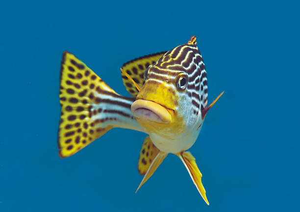 Yellow-banded sweetlips  looking at me stock photo
