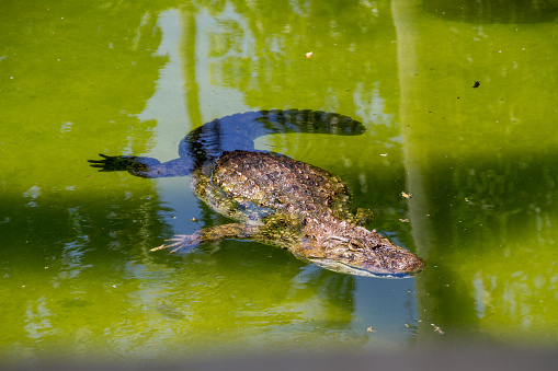 A close-up on the eye of a Broad-Snouted caiman and its green hide.