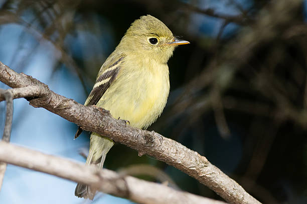 Yellow-bellied Flycatcher stock photo