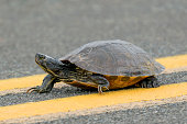Yellow-bellied Slider Turtle crossing the road