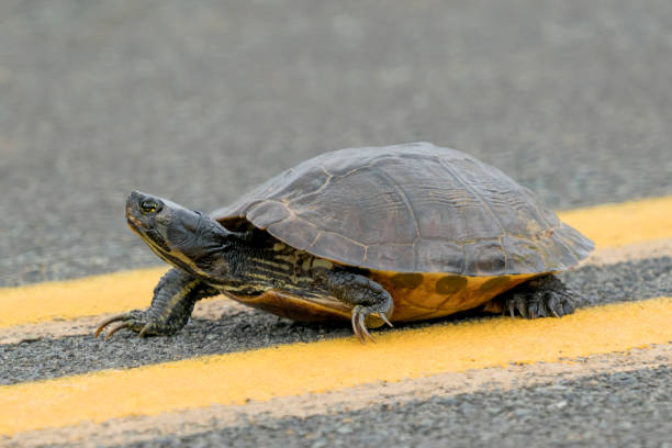 Yellow-bellied Slider Turtle crossing the road stock photo