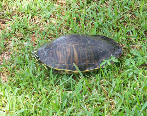 Yellow-bellied Slider Turtle Peeks stock photo