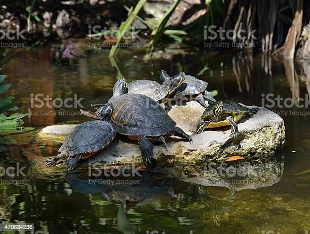 Yellowbellied slider turtles picture id470634236?b=1&k=6&m=470634236&s=612x612&h=z4zhbh3pe9njrz4n0n10 zkdlzgyeqqtenswz9f132u=