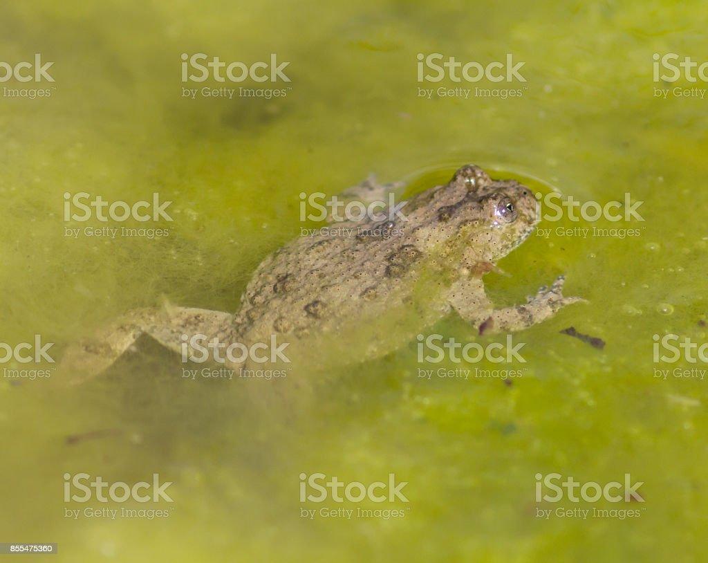 Geelbuikvuurpad (Bombina variegata) foto