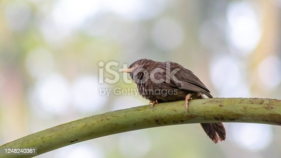 istock Yellow-billed babbler Bird in backyard crisp background 1248240361