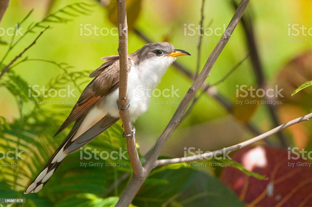 Yellow-billed Cuckoo stock photo