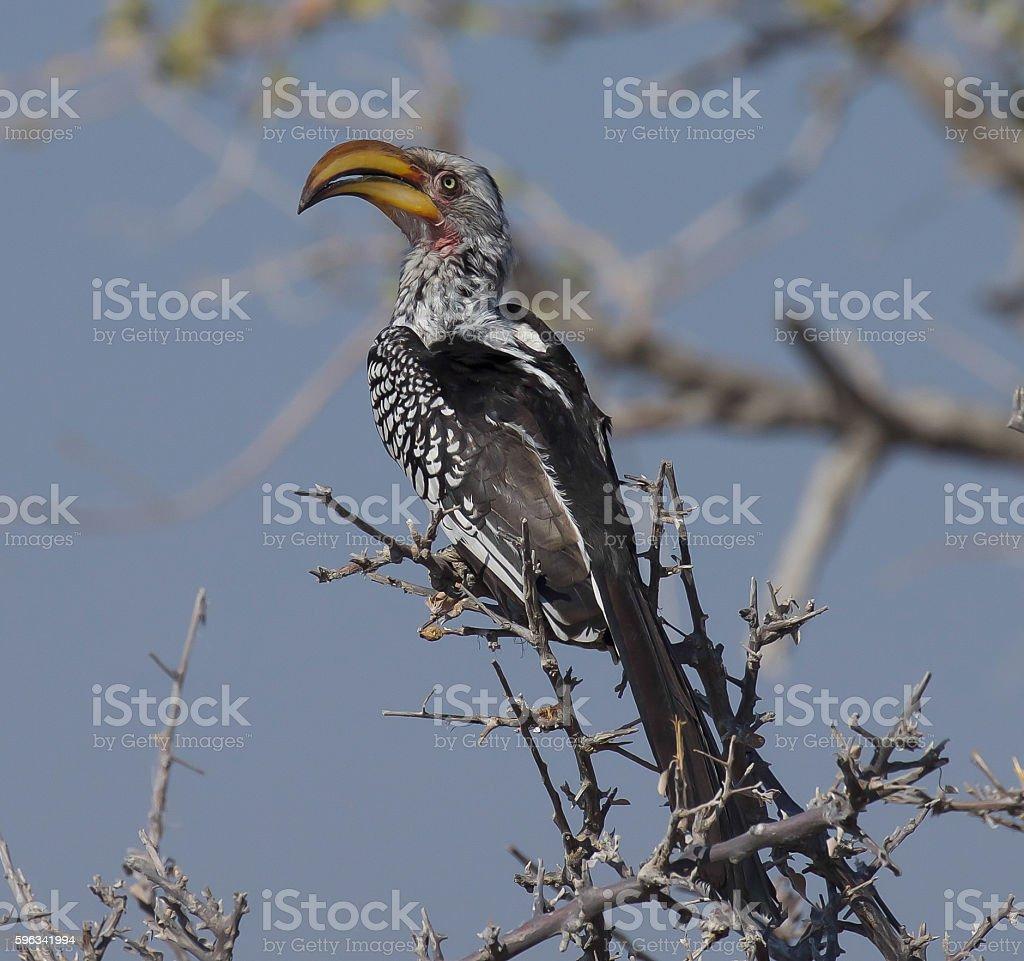 Yellow-Billed Hornbill royalty-free stock photo