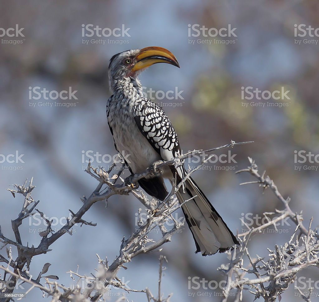 Yellow-Billed Hornbill royalty-free stock photo