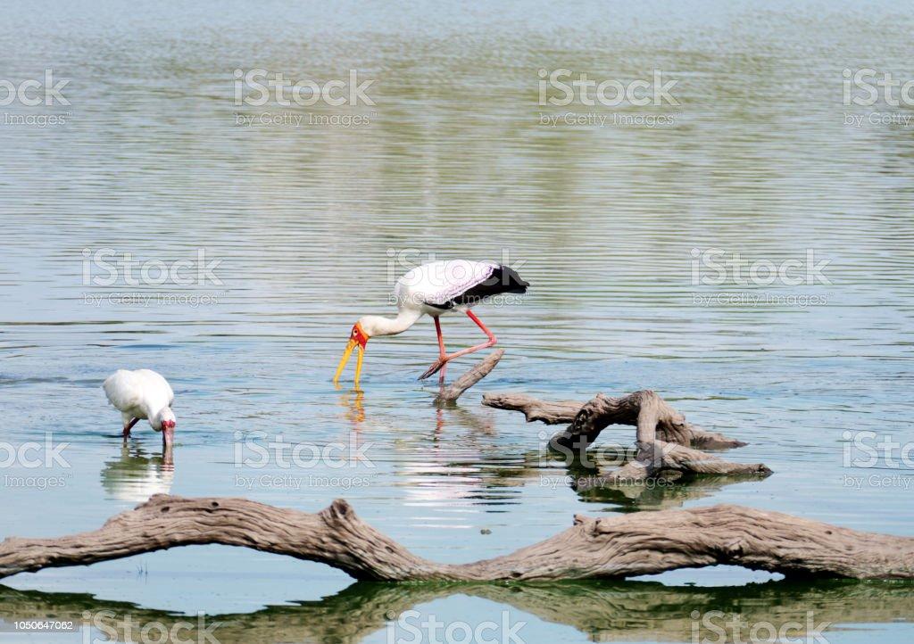 Yellow-billed stork et spatule d'Afrique recherche de nourriture dans le lac - Photo