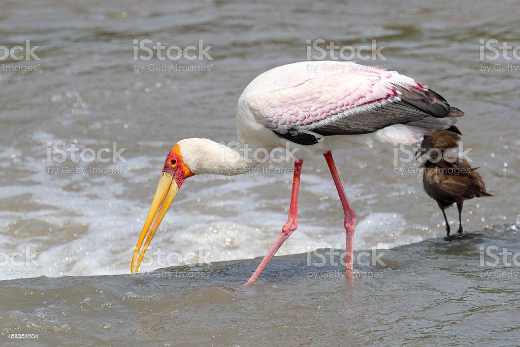 Yellow-billed Stork fishing near a Hamerkop bird royalty-free stock photo