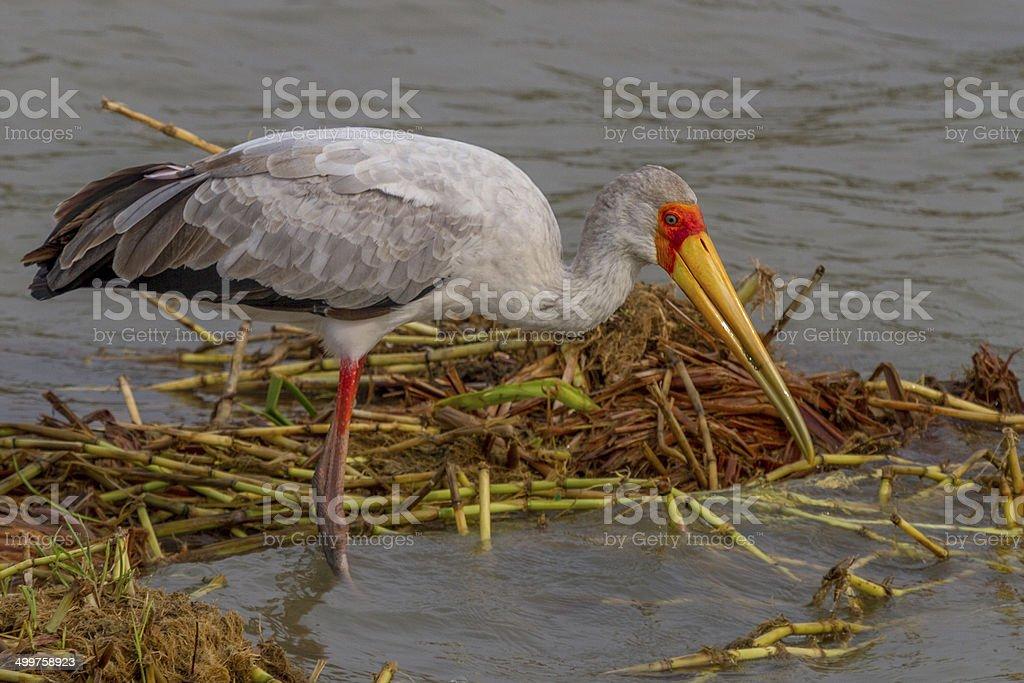 Yellow-billed Stork stock photo