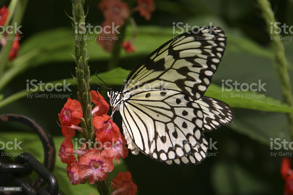 Yellow/Black butterfly sitting on red flower (close-up, Idea leuconoe) royalty-free stock photo