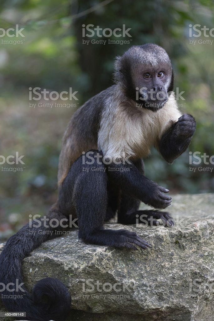 Yellow-breasted tufted capuchin stock photo