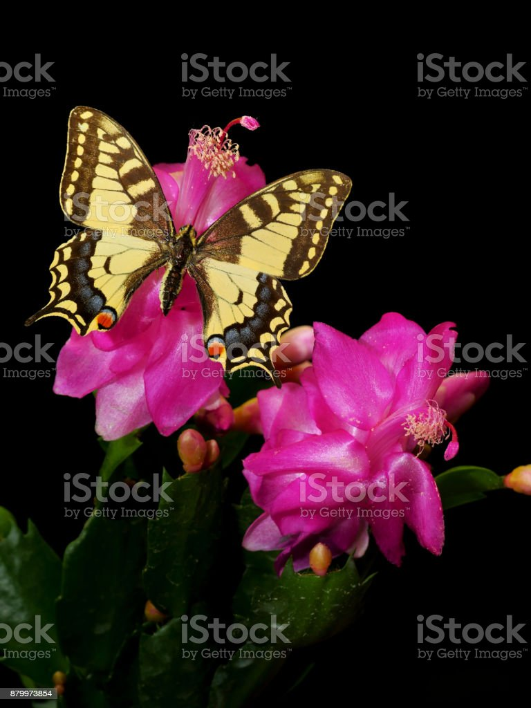 Yellow-brown-blue swallowtail butterfly on pink flower of Schlumbergera trunctata cactus stock photo