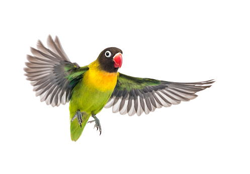 istock Yellow-collared lovebird flying, isolated on white 823748728