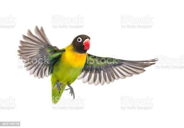 Yellowcollared lovebird flying isolated on white picture id823748728?b=1&k=6&m=823748728&s=612x612&h=grn332tuqpjm3 f 8dcvz0ekpg5nr7cossn5z j dco=