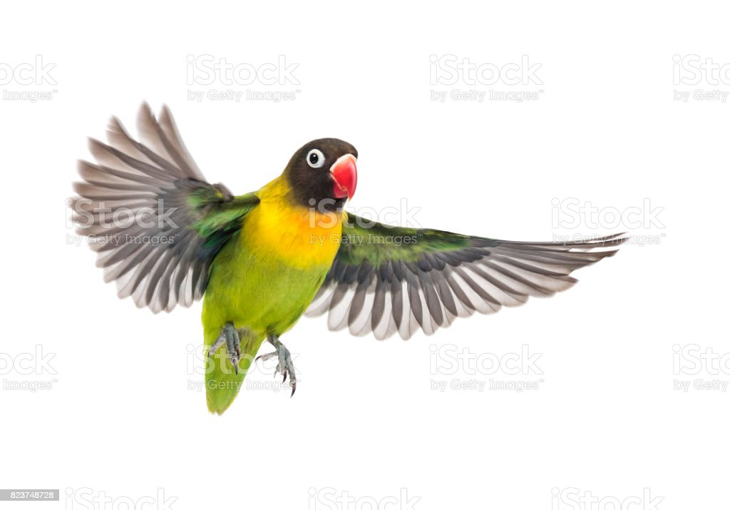 Yellow-collared lovebird flying, isolated on white stock photo