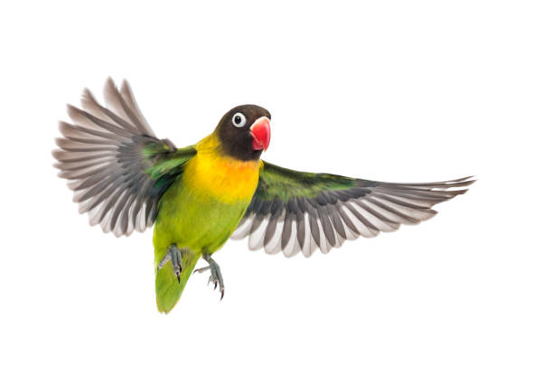 yellow-collared lovebird flying, isolated on white - bird stock photos and pictures
