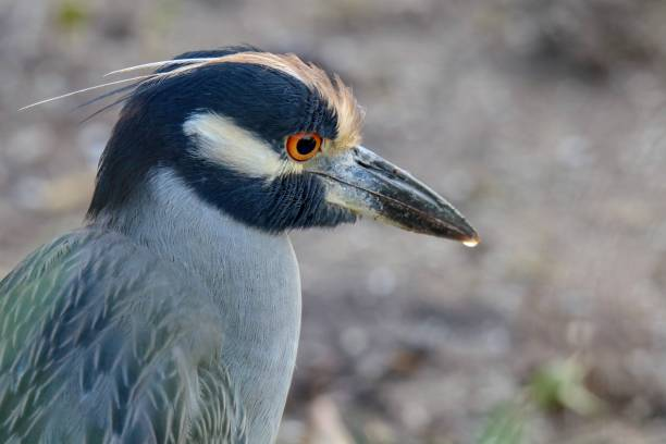 Yellow-crowned Night-Heron at J. N.