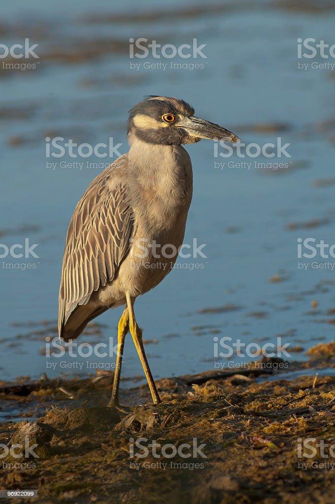 Yellow-crowned Night-Heron royalty-free stock photo