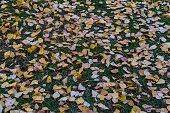 istock Yellowed birch leaves in a city park. Autumn landscape. 1271921955
