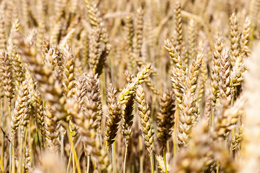 almost completely yellowed spikelets of cereals before their ripening, close-up