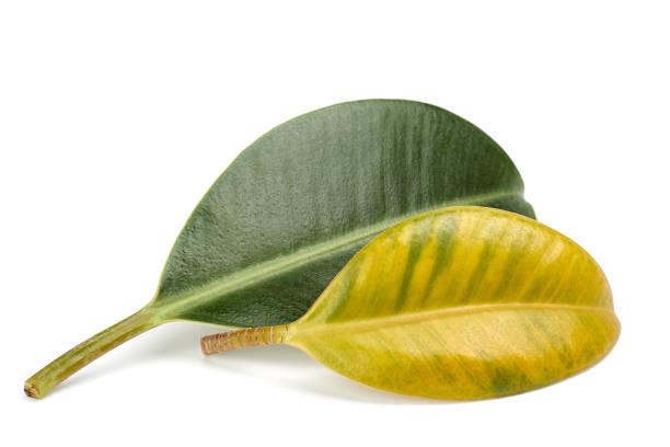 Ein vergilbter Ficus-Blatt vor einem grünen Blatt. Abbildung von Vitaminmangel, Mangel an Mineralien, Nährstoffen. Zwei Ficus-Blätter auf weißem Hintergrund – Foto