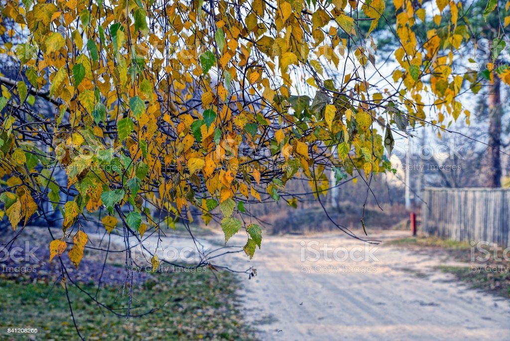 Yellowed leaves of birch trees near the road stock photo