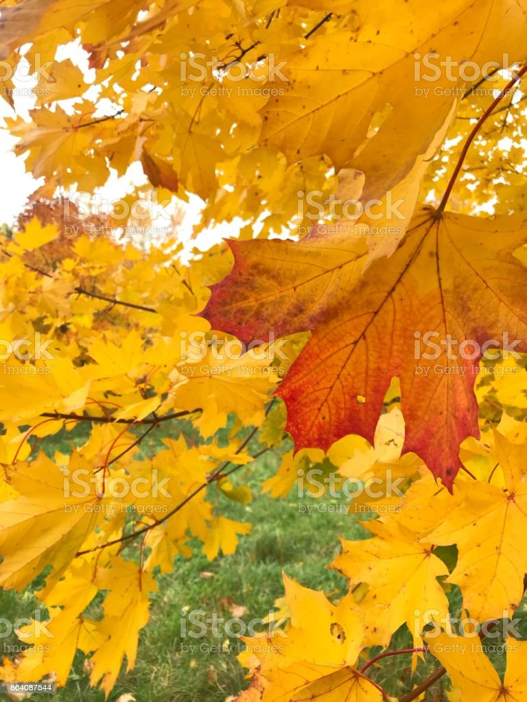 Yellowed maple leaves close-up. Autumn leaves. royalty-free stock photo